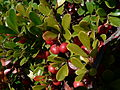 Arctostaphylos uva-ursi 25916.JPG
