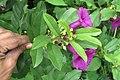 Argyreia cuneata - Purple Morning Glory - at Beechanahalli 2014 (6).jpg