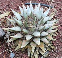 Ariocarpa retusus 1