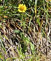 Arnica unalascensis var. tschonoskyi (Mount Kasa).jpg