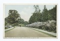 Arnold Arboretum (Driveway and Mountain Laurel), Boston, Mass (NYPL b12647398-69917).tiff