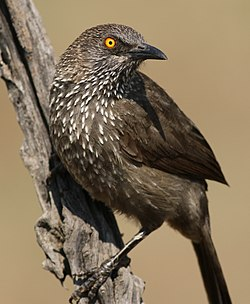 Arrow-marked Babbler, Turdoides jardineii, at Pilanesberg National Park, Northwest Province, South Africa (29056646783).jpg