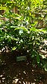 Artabotrys odoratissimus plant.jpg