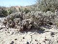 Artemisia pedatifida (5042133516).jpg