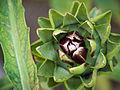 Artischoke, Cynara cardunculus (03).jpg