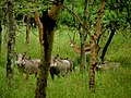 Arusha National Park, gazelle and warthogs.jpg
