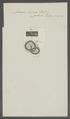 Ascaris incisa - - Print - Iconographia Zoologica - Special Collections University of Amsterdam - UBAINV0274 104 03 0012.tif