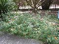 Asclepias curassavica - Jardin d'Éden.JPG