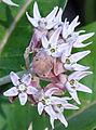 Asclepias speciosa showy milkweed flowers.jpg