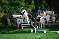Ashley Whippet Frisbee Naperville - 8033007331.jpg