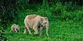Asian Elephant, Elephas maximus, mother and calf in Kui Buri national park (20853454891).jpg