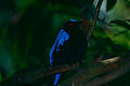 Asian Fairy-bluebird (Irena puella) (10242452924).jpg