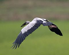 Asian Openbill (Anastomus oscitans) - Flickr - Lip Kee (2).jpg