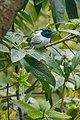 Asian Paradise Flycatcher in Nepal (1).jpg
