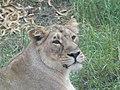 Asiatic Lioness 21.jpg
