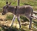 Asno (Equus asinus).jpg