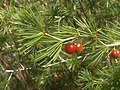 Asparagus laricinus, vrugte, Rietvlei NR, c.jpg