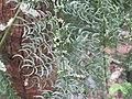 Asparagus racemosus - Satawari flowers - at Peravoor 2018 (9).jpg