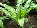 Asplenium nidus.JPG