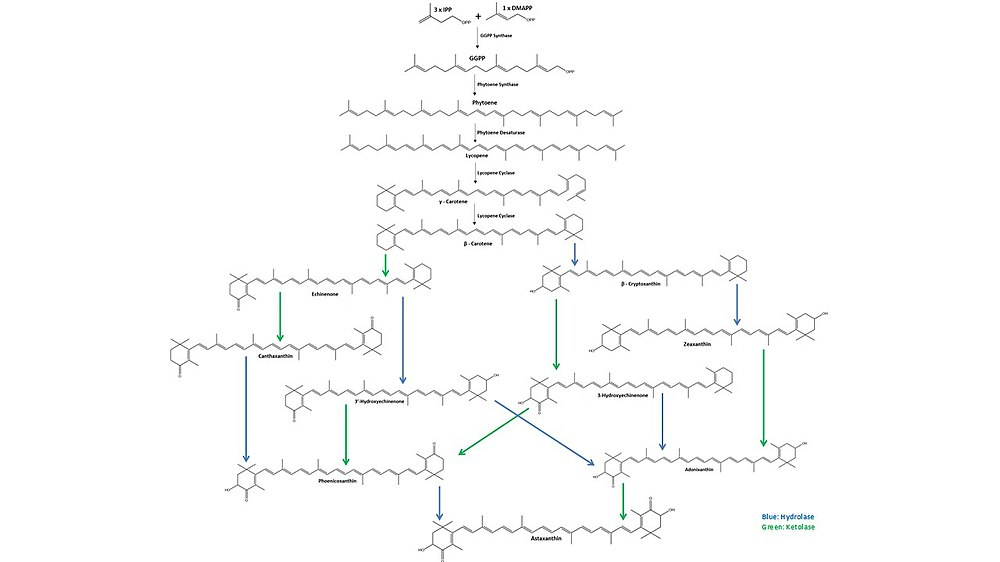 Astaxanthin biosynthesis starts with three molecules of isopentenyl pyrophosphate (IPP) and one molecule of dimethylallyl pyrophosphate (DMAPP) that are combined by IPP isomerase and converted to geranylgeranyl pyrophosphate (GGPP) by GGPP synthase. Two molecules of GGPP are then coupled by phytoene synthase to form phytoene. Next, phytoene desaturase creates four double bonds in the phytoene to form lycopene. Then, lycopene cyclase first forms γ-carotene then subsequently forms β-carotene. From β-carotene, hydrolases (blue) and ketolases (green) form multiple intermediate molecules until the final molecule, astaxanthin is obtained.
