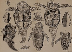 Asterolepis (fish) - Sketches of Asterolepis fossil found in 1889 by Woodward