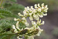 Astragalus nuttallii var. virgatus.jpg