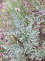 Astragalus vesicarius subsp. vesicarius sl2.jpg