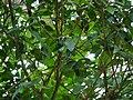 Atalantia racemosa Wight ex Hook. (22639933511).jpg