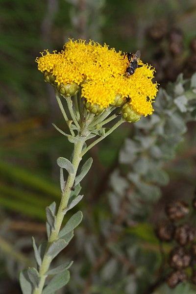 File:Athanasia trifurcata (Asteraceae) (4581444137).jpg