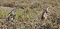 Atlantoxerus getulus - Morro Jable 03.jpg