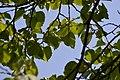 Atlas roslin pl Lipa srebrzysta 4914 8090.jpg