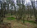 Auchentiber moss woodland.JPG