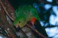 Australian King Parrot (Alisterus scapularis) female (10020323676).jpg