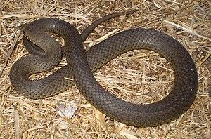 Snakes of Australia - A Pygmy Copperhead