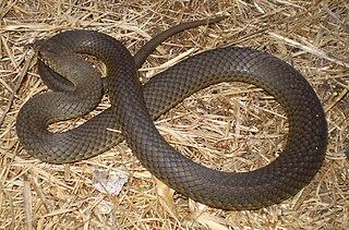Pygmy copperhead Venomous snake of South Australia