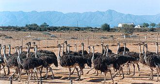 Oudtshoorn - The Highgate Ostrich Show Farm