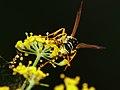 Avispa - V espa - Wasp (5083309402).jpg