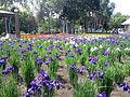 Ayame-park rapport-flower-bed.JPG