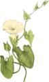 BGTransp L Plantenschat1898 311 151 Haagwinde.— Convolvulus sepium.png