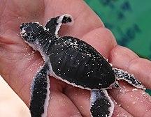 Heron Island-Fauna-Baby Chelonia mydas 20060319
