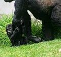 Baby gorilla in SF Zoo July 2009.jpg