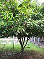 Baccaurea ramiflora (Burmese grape) tree in RDA, Bogra (2).jpg