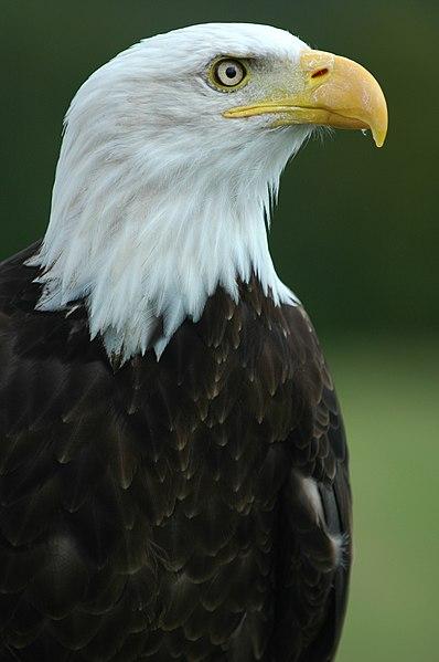 """File:Bald Eagle - """"Helga"""".jpg"""
