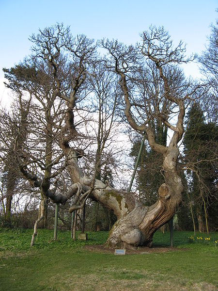 File:Balmerino Tree.JPG