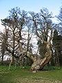 Balmerino Tree.JPG