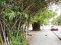 Bambúes o guafas de la avenida 23 de Enero.jpg