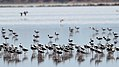 Banded Stilts and Red-necked Avocets (24470330016).jpg