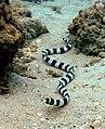 Banded snake eel Nick Hobgood.jpg