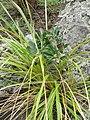 Banksia integrifolia L.f. (AM AK306127-1).jpg