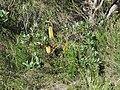 Banksia paludosa (42630134702).jpg